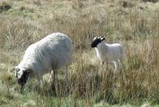 Black faced Sheep and Lamb