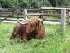 Sleepy Highland Bull